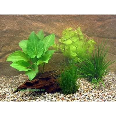Live Aquarium Plant Goldfish