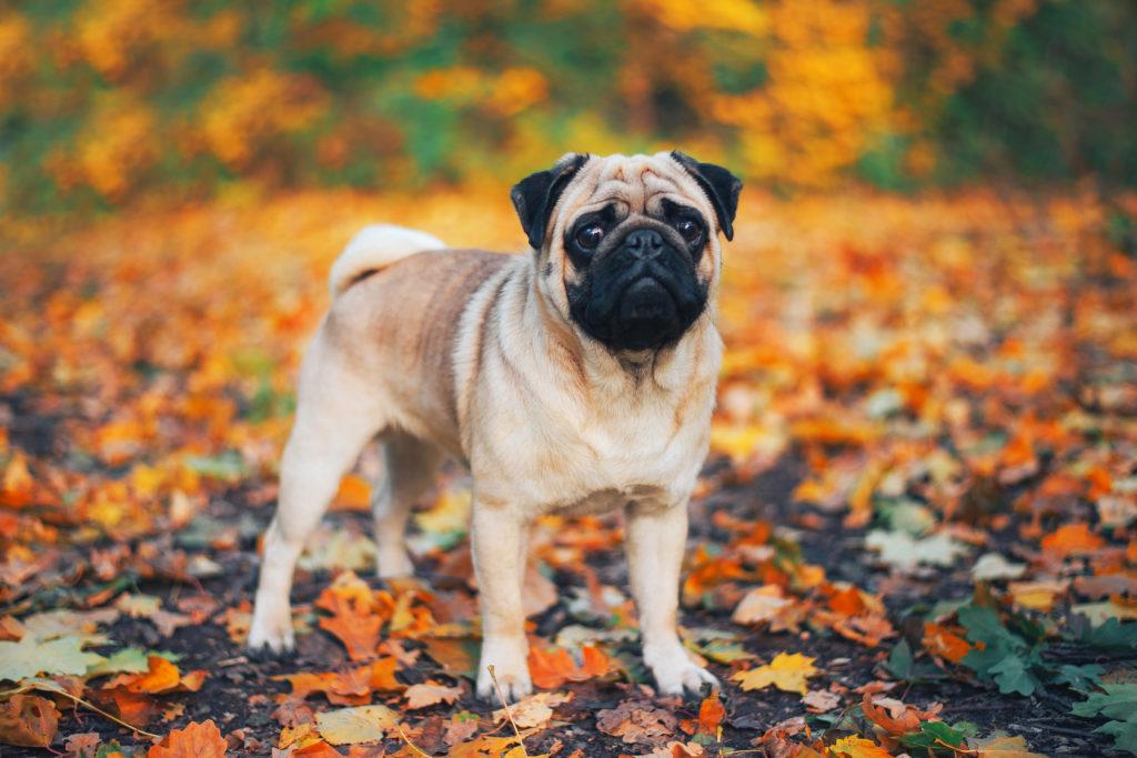 Pug in Autumn