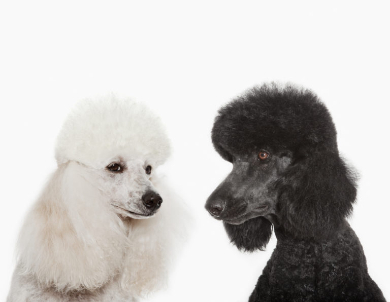 black and white poodles
