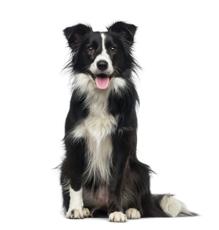Border Collie - Dog Breed