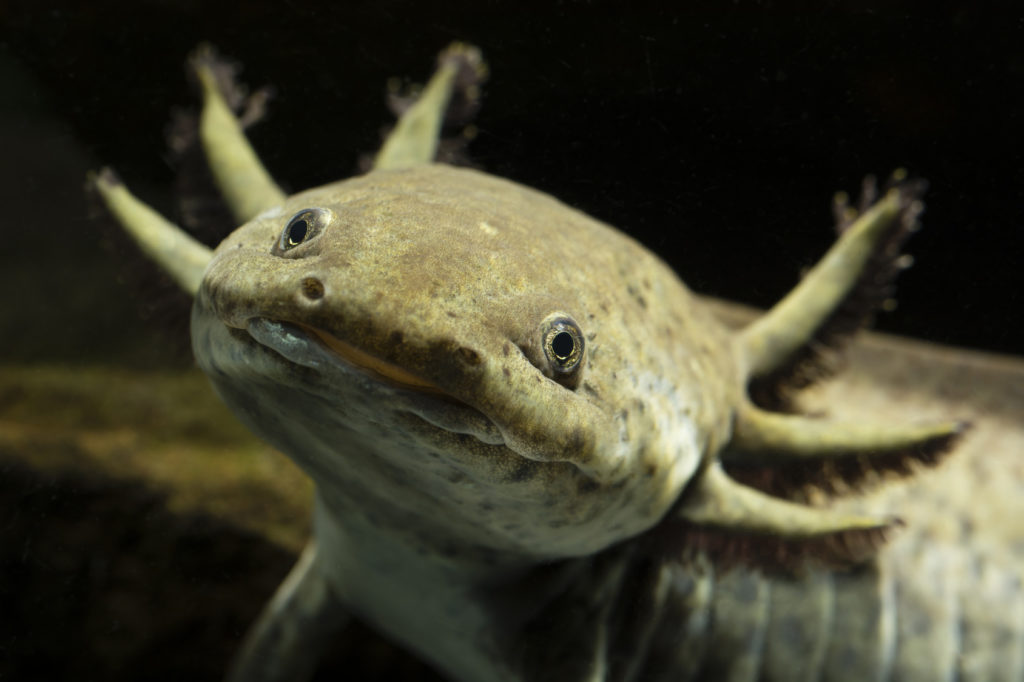 Mexican axolotl grey