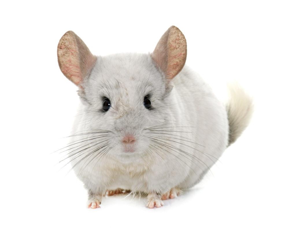 Chinchilla small pet