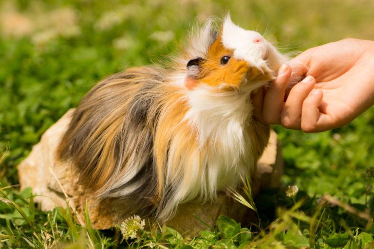 Grooming a Guinea Pig - Guinea Pig Care