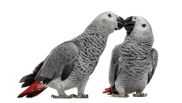 Two African Grey Parrot (3 months old) pecking, isolated on white, Exotic Bird Adoption