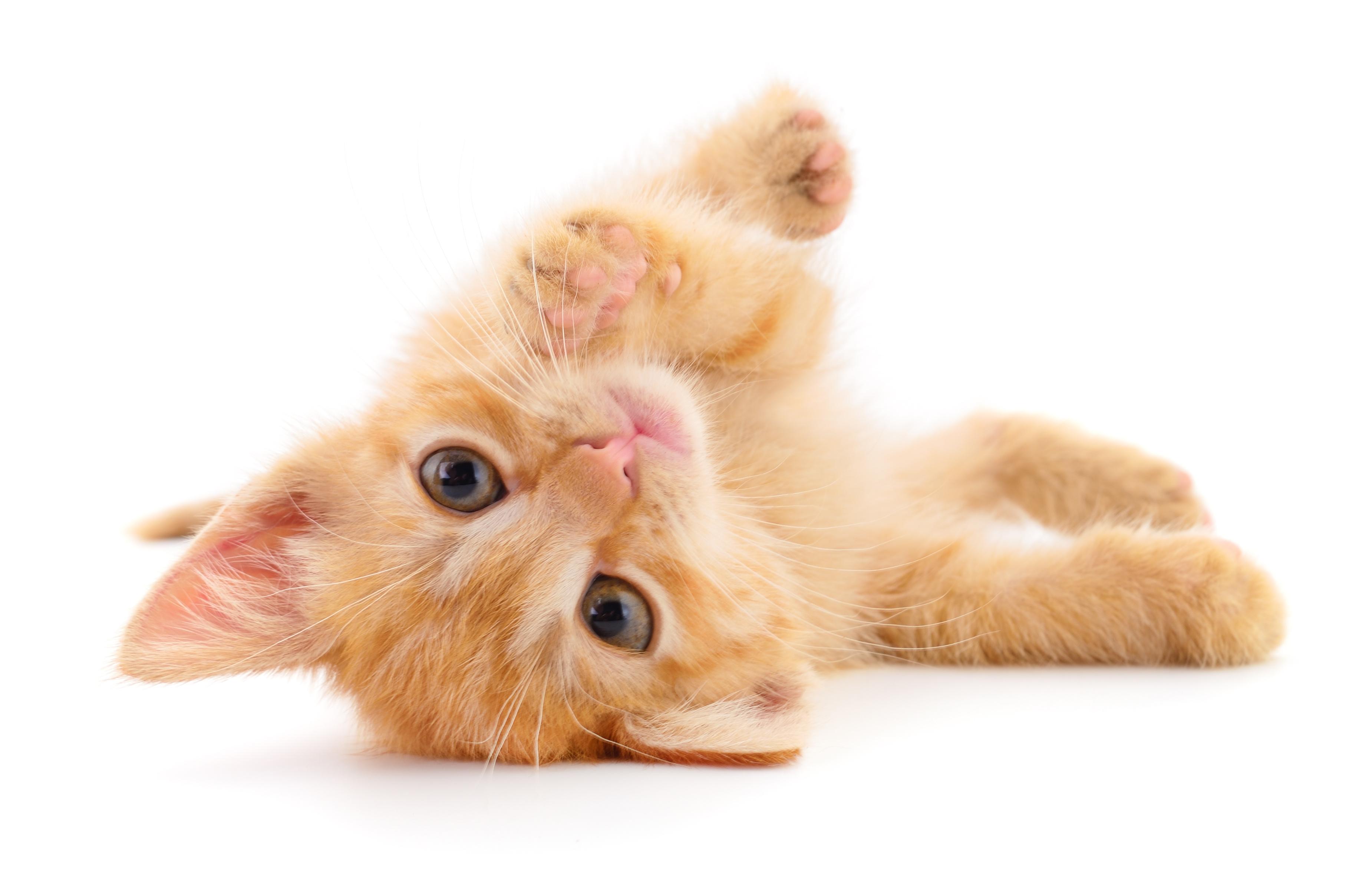 Small ginger kitten