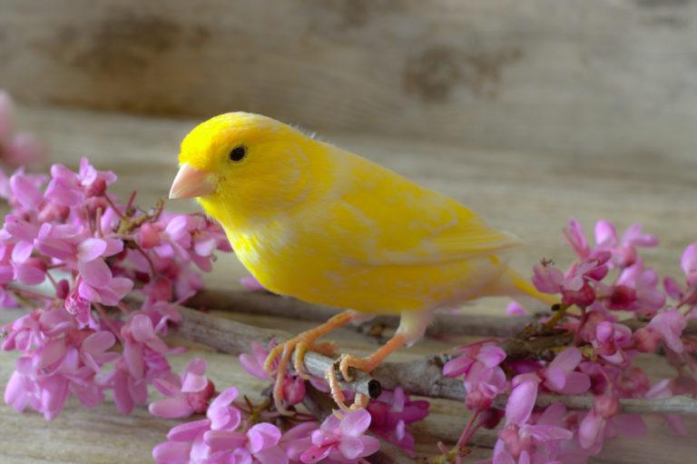 Canary bird Feeding