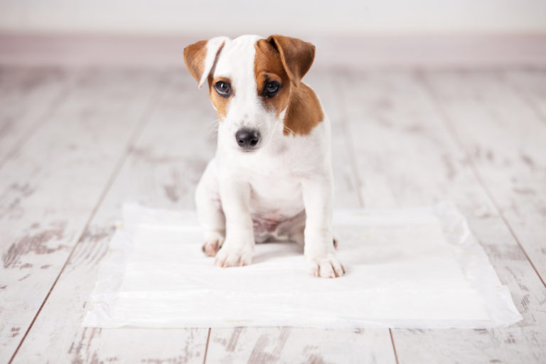 Puppy on absorbent litter - puppy training