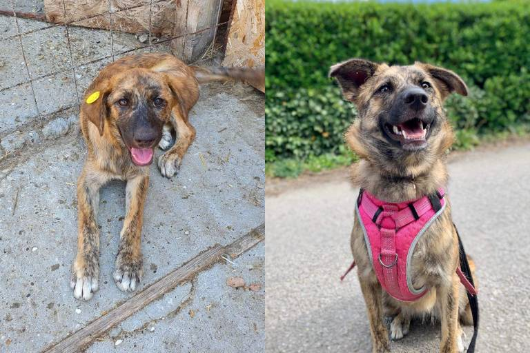 Miley before and after his rescue and adoption