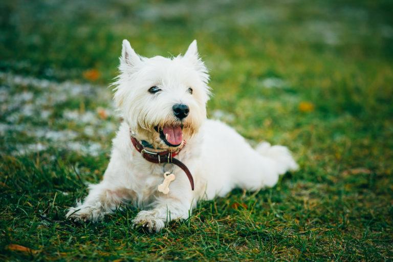 West Highland White Terrier - Westie, Westy Dog