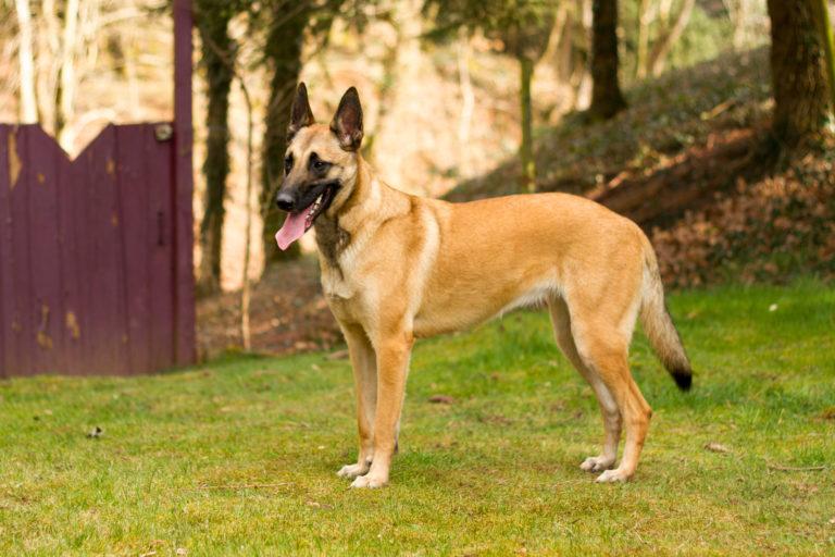 Belgian Shepherd Dog (Malinois)
