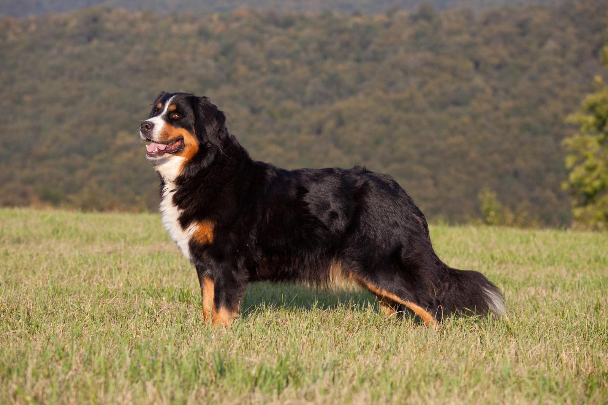 Bernese Mountain Dog Zooplus Magazine