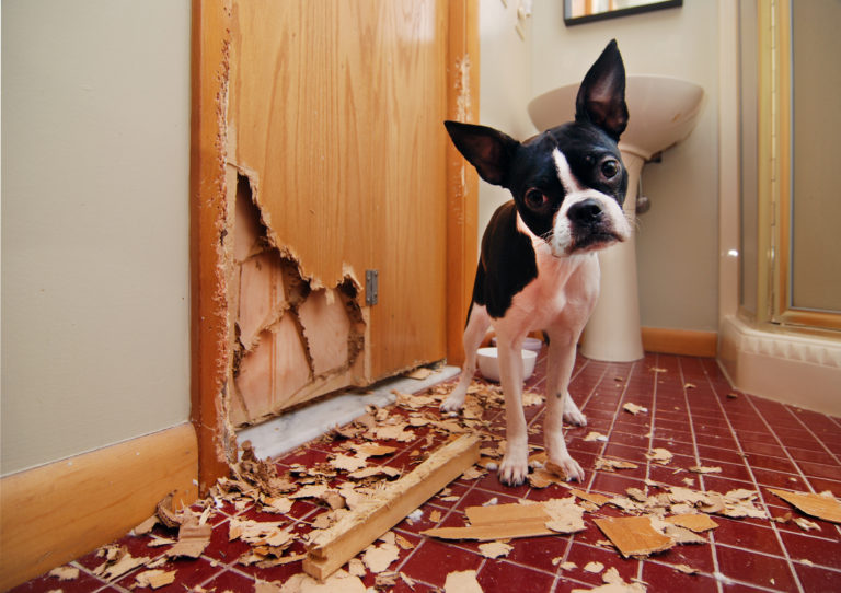 Naughty Boston Terrier - Behavioural Disorder Dog