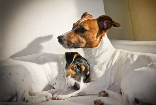 couple of two dogs in love - contraception