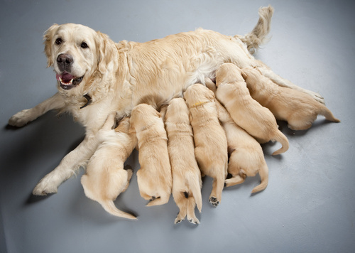 female dog of golden retriever breastfeeding puppies