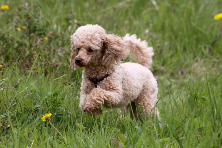 Medium Poodle dog