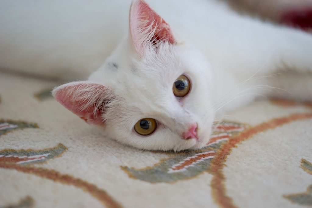 A young white turkish angora with yellow breed cat