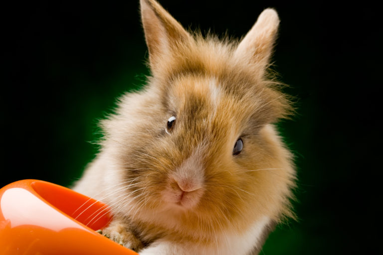 Dwarf rabbit with lion's head with food