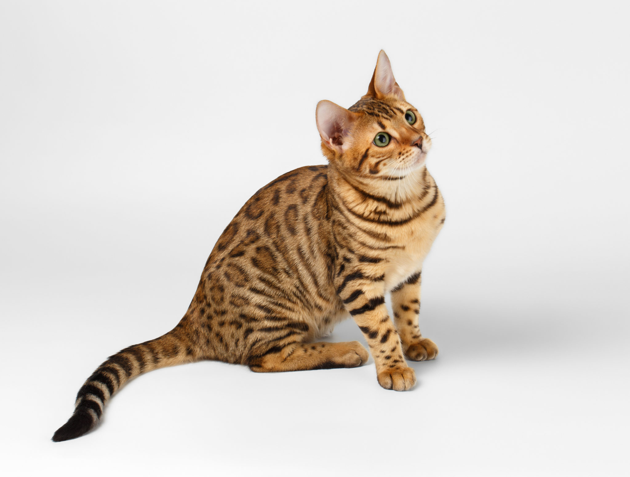 Bengal cat: character, breed description and owner reviews 64