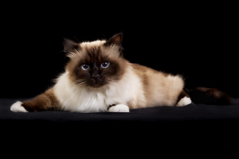 Purebred Birman cat