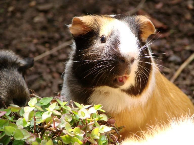guinea pig language - understanding your guinea pig