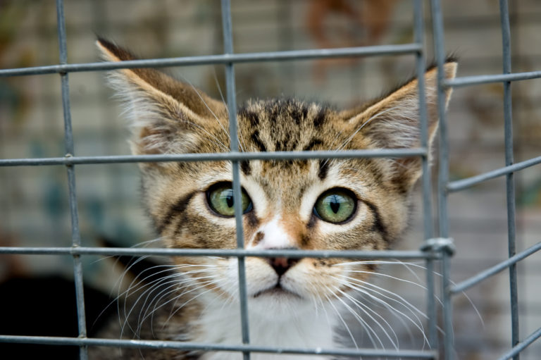 Mistä löytäisi itselleen oman kissan - kissojen kasvattajalta, eläinkodista vai yksityiskodista?