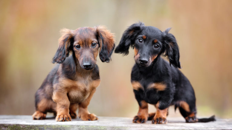 dachshund breed