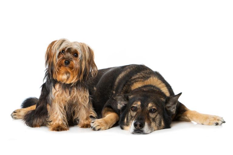 Adopting multiple dogs
