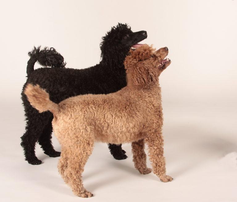 Miniature Poodle Zooplus Magazine