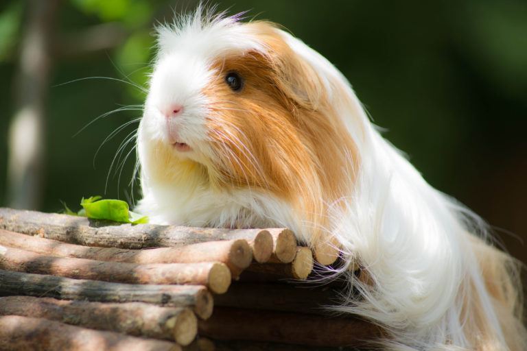 keeping a guinea pig outdoors