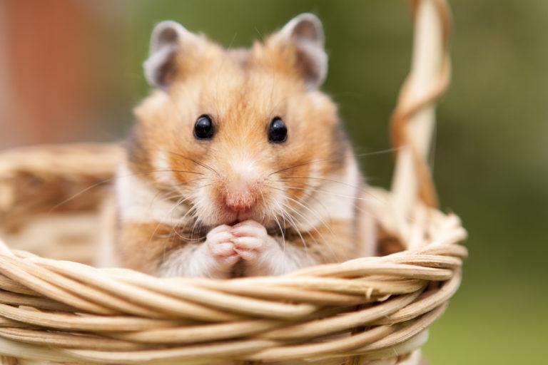 Hamster language - understanding your hamster