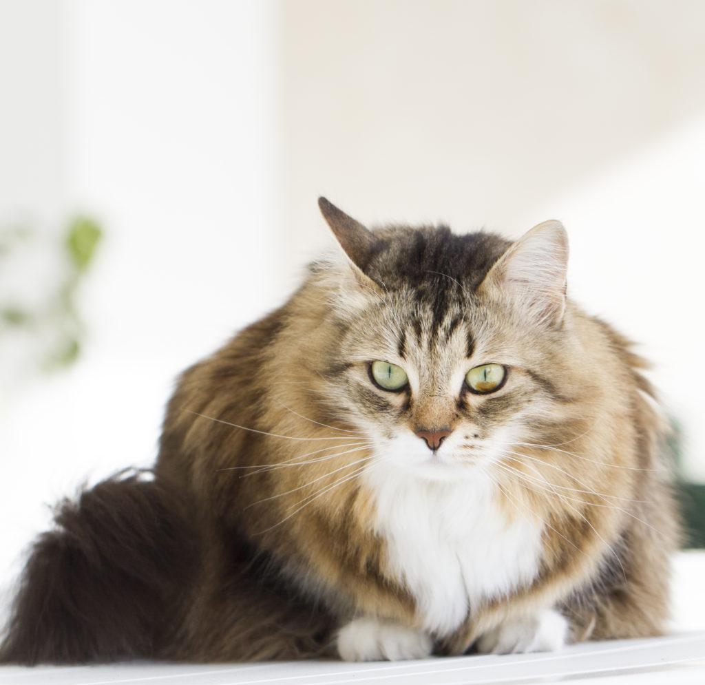 Siberian Cat Zooplus Magazine