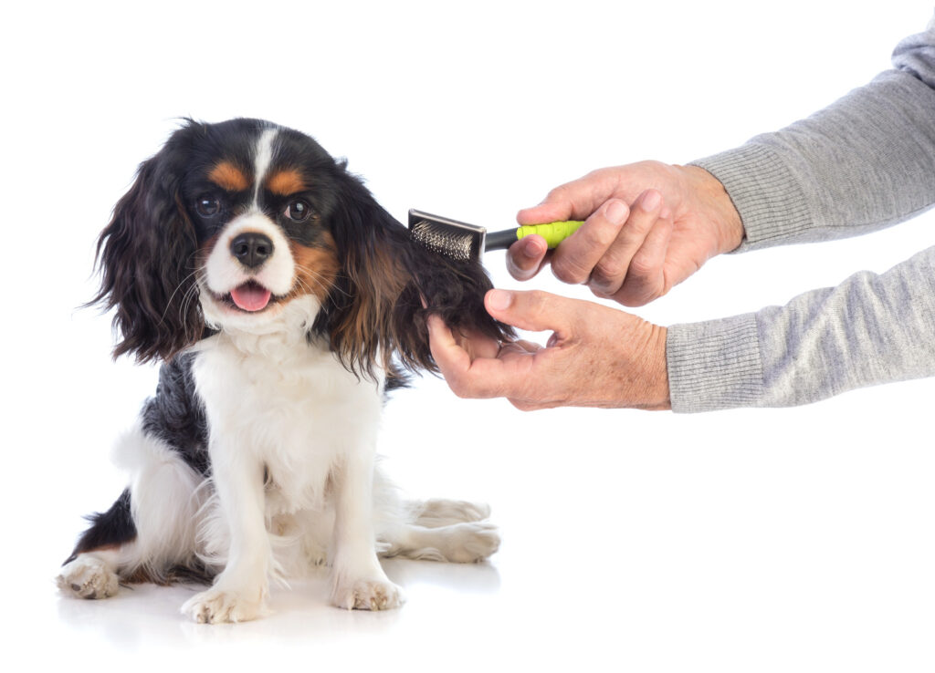cavalier king charles grooming and care