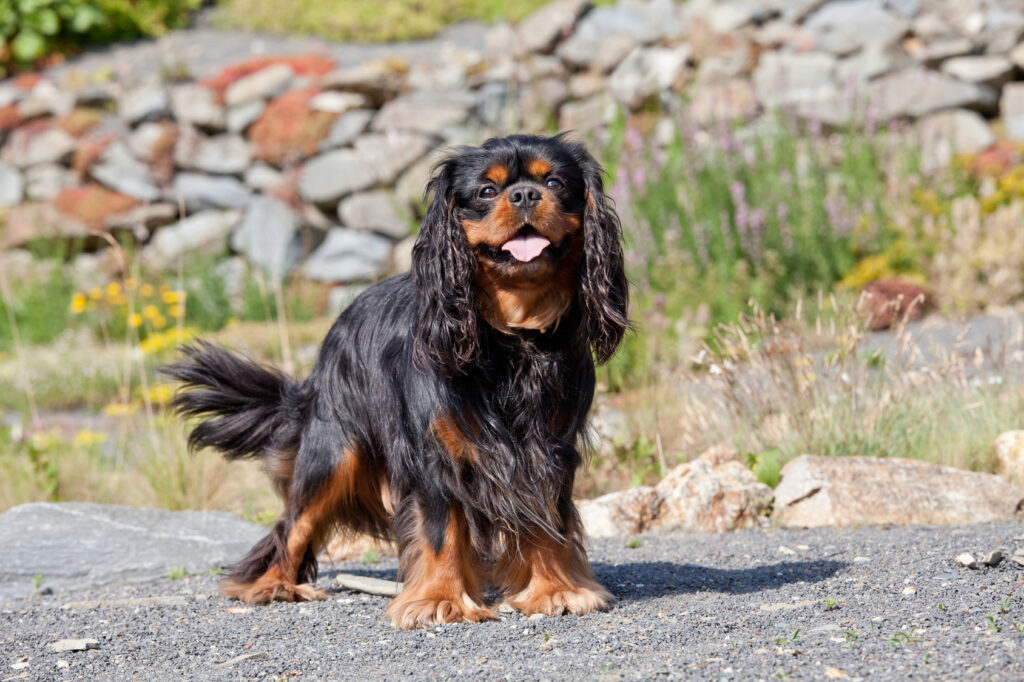 cavalier king charles black and tan