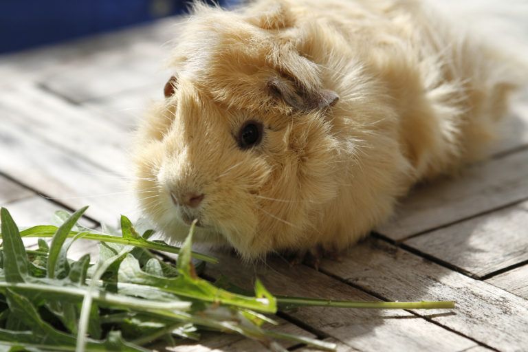 Guinea pig eating for digestion