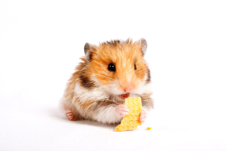 hamster eating for digestive care
