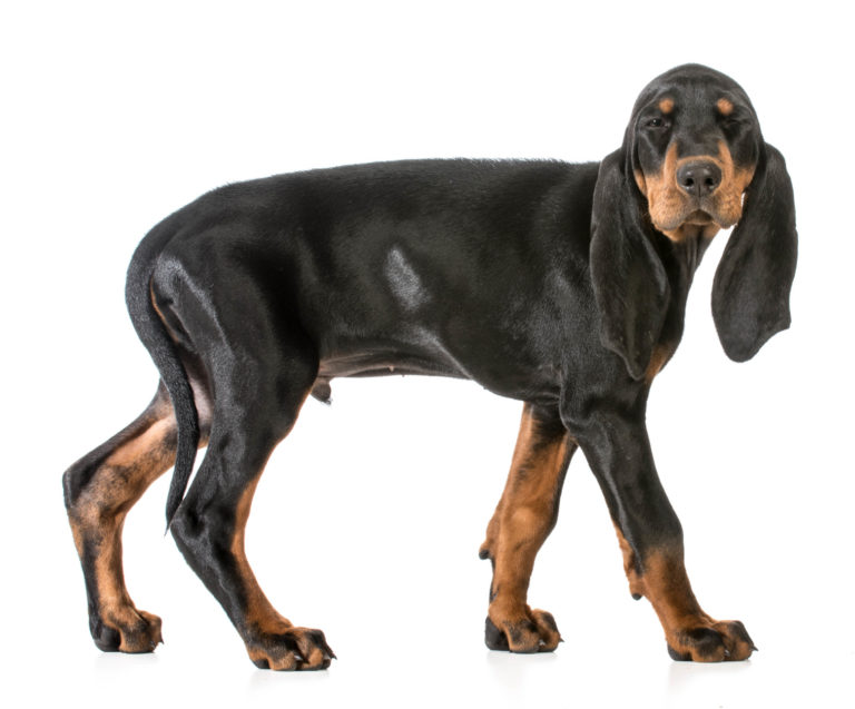 Black and Tan Coonhound UK