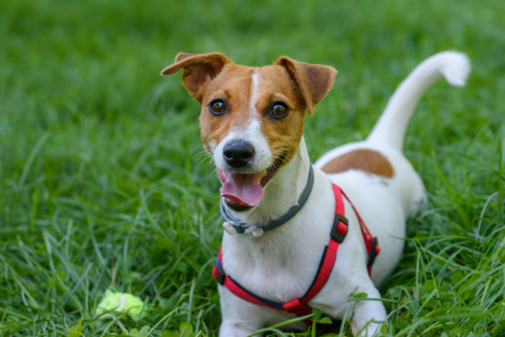Cute and Happy Jack Russell Terrier