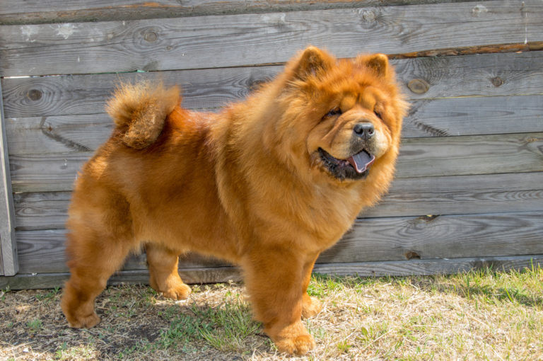 Chow Chow dog breed UK