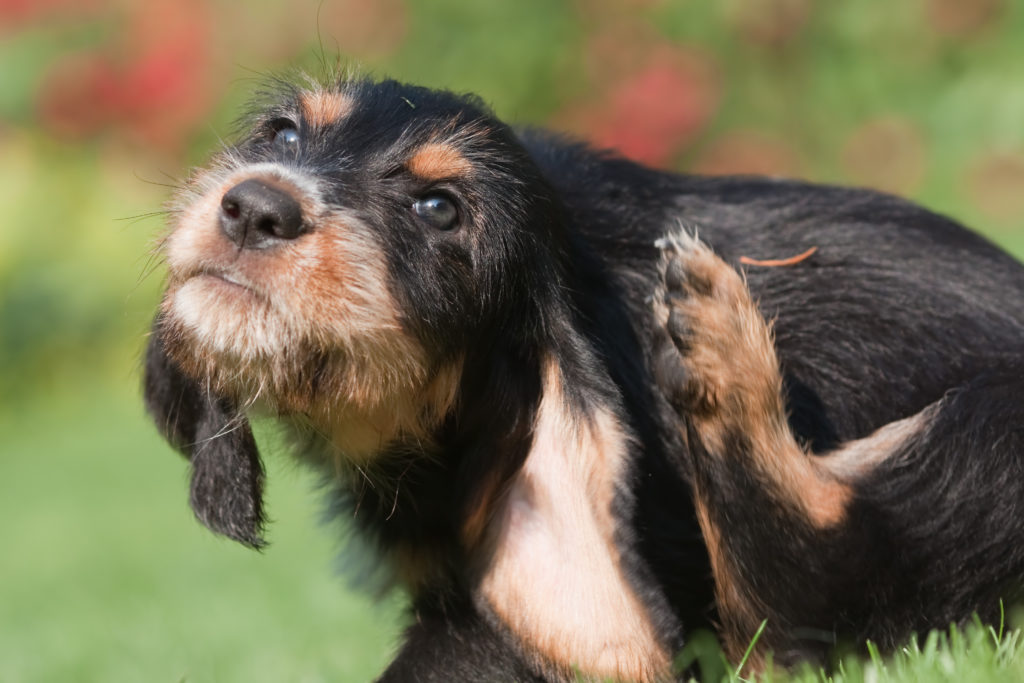 Fleas in Dogs - Itching Dog