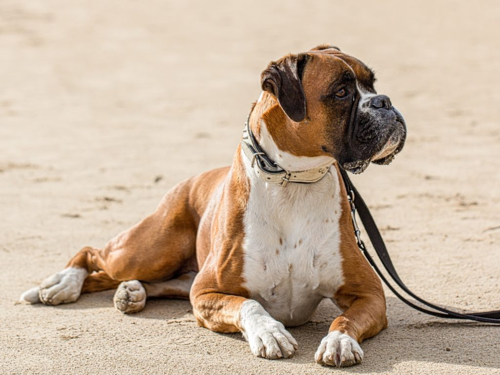 Beautiful German Boxer Dog