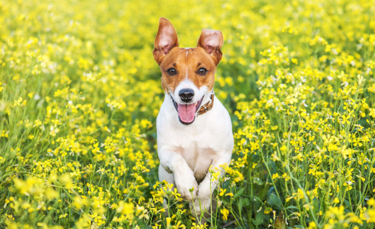 parasites in dogs - jack russell terrier
