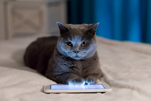 British Shorthair cat using tablet lying on bed.