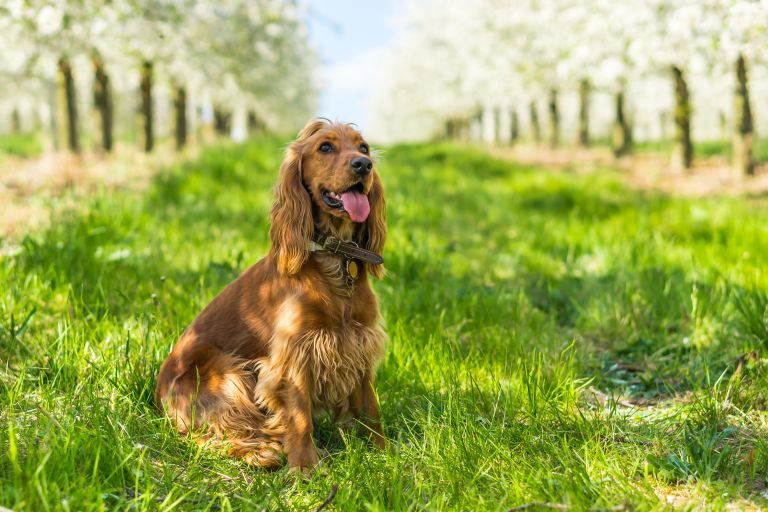 English Cocker Spaniel Dog Breed