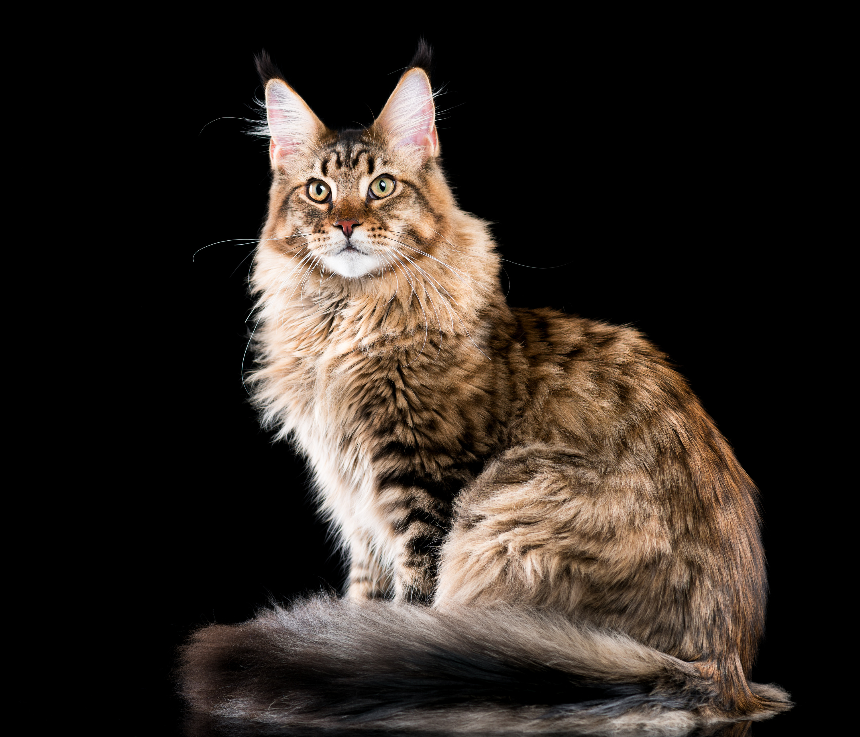 Maine Coon Breed Information Ownership Care Zooplus Magazine