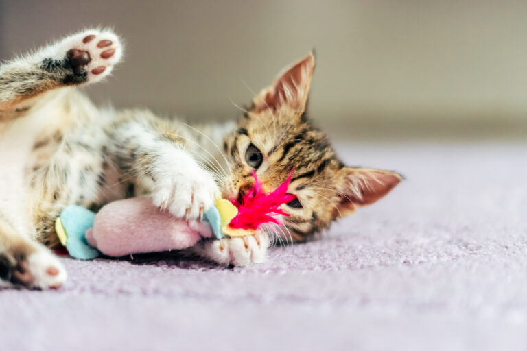 Playing with an indoor cat