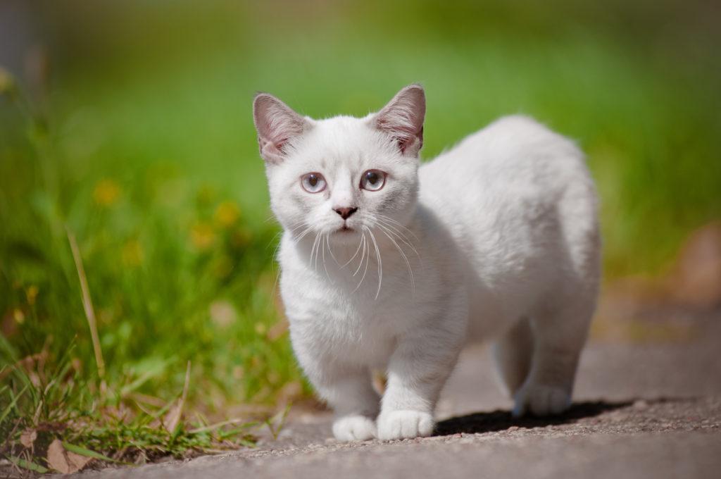 white munchkin kitten