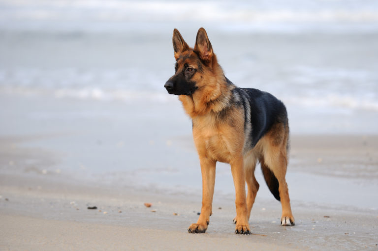 German Shepherd on a beach