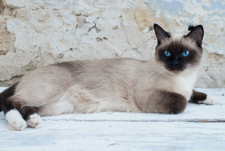 Beautiful Siamese Purebred Cat with Blue Eyes