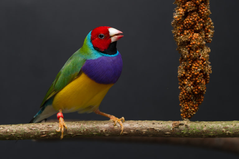Gouldamadine - colourful finch