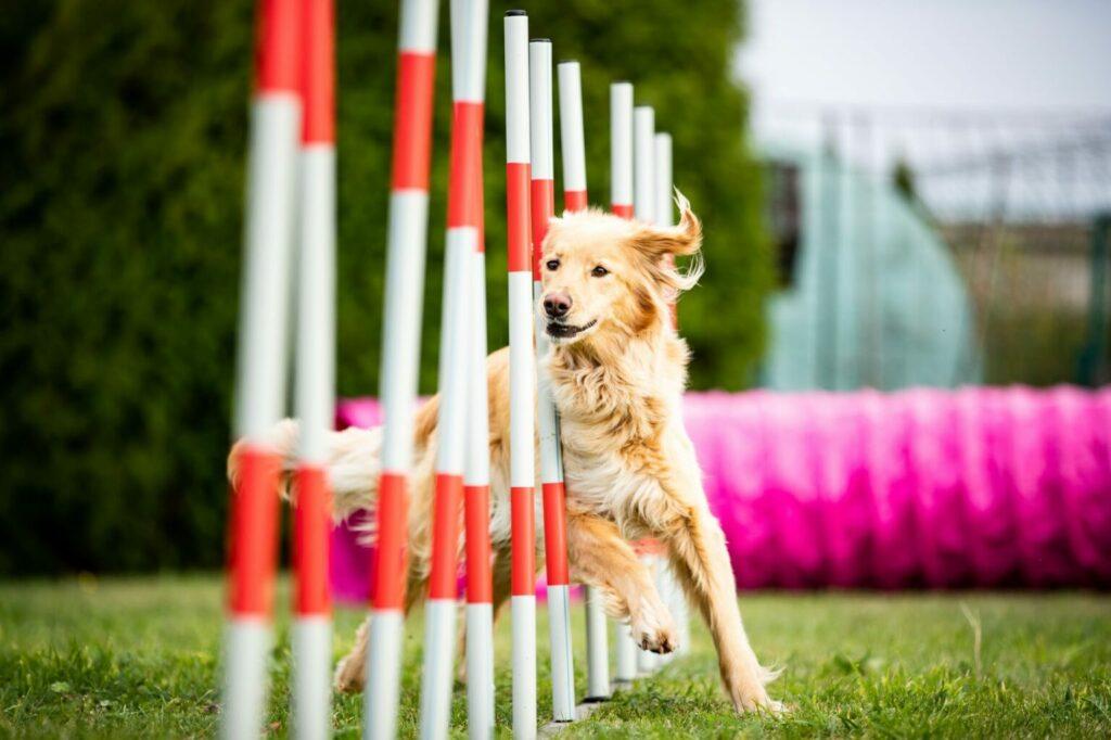 Dog doing agility training